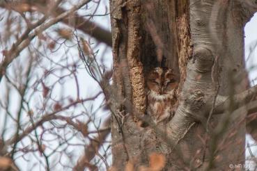 Tawny Owl (c) Ben Locke