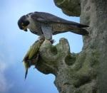 Peregrine Falcon, Christchurch (c) Dave Pearce