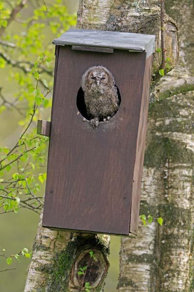Tawny Owl (c) Phil Mugridge